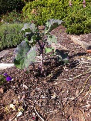 Perennial Purple Tree Collard